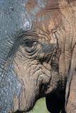 tät elefant upp Fotografering för Bildbyråer