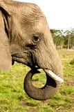 tät elefant upp Arkivbild
