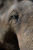tät elefant upp Royaltyfri Fotografi