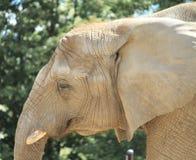tät elefant upp Arkivfoto