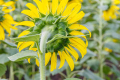 tät fälthungary solros upp Fotografering för Bildbyråer