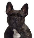 tät fransman för bulldogg upp Royaltyfri Bild