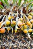 tät fruktpalmträd upp Royaltyfri Fotografi
