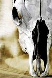tät gammal skalle för nötkreatur upp Arkivbild