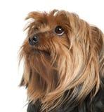 tät gammal terrier 5 upp år yorkshire Royaltyfria Bilder