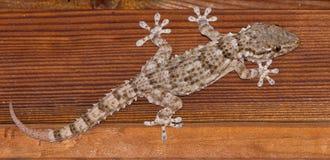 tät gemensam gecko upp väggen Arkivfoton