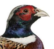 tät gemensam male pheasant för american upp Royaltyfria Bilder
