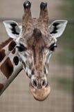 tät giraffstående upp Royaltyfri Bild