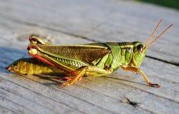 tät gräshoppermakro upp Arkivfoton