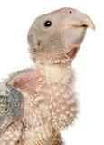tät grå papegojapsittacus för afrikan upp Royaltyfri Foto