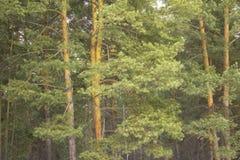 Tät grön krona av ett barrträd mot en skog royaltyfri bild