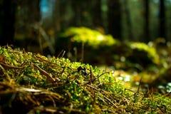 tät grön moss upp Ekologinaturlandskap Solljus i mörk skogmakro arkivbild