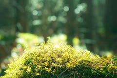 tät grön moss upp Ekologinaturlandskap Solljus i mörk skogmakro Arkivbilder