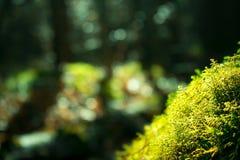 tät grön moss upp Solljus i mörk skogmakro suddighet bakgrund arkivbild