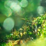 tät grön moss upp Solljus i mörk skogmakro suddighet bakgrund fotografering för bildbyråer