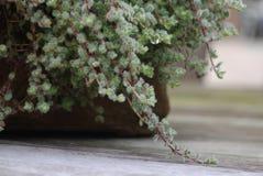 tät groundcoverväxttimjan upp wooly Arkivbild