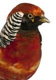 tät guld- male pheasant upp Royaltyfri Fotografi