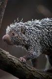 tät gullig porcupine för brasilian upp Royaltyfria Foton