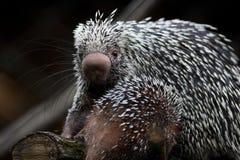 tät gullig porcupine för brasilian upp Fotografering för Bildbyråer