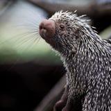tät gullig porcupine för brasilian upp Arkivbild