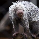 tät gullig porcupine för brasilian upp Royaltyfri Bild