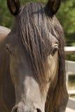 tät häst för arab upp Royaltyfria Bilder