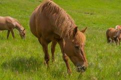 tät häst upp Royaltyfria Foton