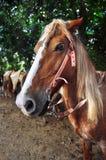 tät head häst upp Arkivfoto