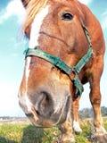 tät head häst upp Royaltyfri Bild