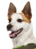 tät hund för avel blandad upp Arkivbilder