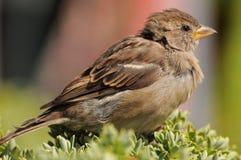 tät husbildsparrow upp Royaltyfri Foto