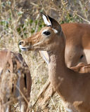 tät impala upp Royaltyfri Fotografi
