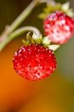 tät jordgubbe upp wild Arkivfoton