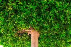 Tät krona av ett träd Arkivfoton