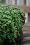 tät krypa groundcoverväxttimjan upp Royaltyfri Foto