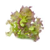 tät leafgrönsallat upp Royaltyfri Fotografi