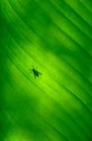 tät leafpalmträd för banan upp Arkivfoto