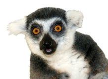 tät lemur för kamera som ser cirkeln tailed upp Arkivfoto
