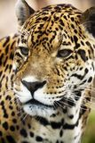 tät leopardstående upp Royaltyfri Bild