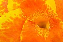 tät lilja för canna upp Arkivbilder