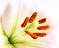 tät lilja upp white Arkivfoto