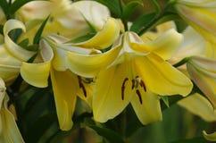 tät lilja upp yellow Arkivfoton