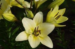 tät lilja upp yellow Fotografering för Bildbyråer