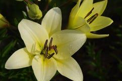 tät lilja upp yellow Royaltyfria Foton