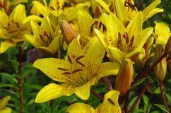 tät lilja upp yellow Royaltyfria Bilder