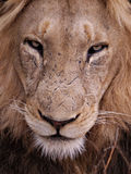 tät lion upp Arkivfoto