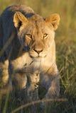tät lioness upp Arkivfoto