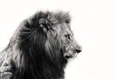 tät lionstående för afrikan upp Royaltyfria Foton