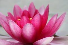 tät lotusblomma upp Royaltyfri Fotografi