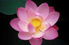 tät lotusblomma upp fotografering för bildbyråer